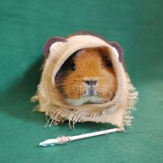 Don't let the spear fool you. Guinea pigs won't try and harm you or bite you in defense They will only do so if they think your hand is food.