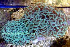 Non Branching Hammer Coral