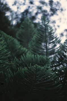 beauty of pines