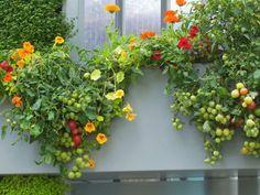 Tomaten auf dem Balkon.