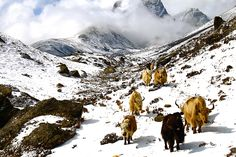 """Yaks coming down a valley in Sagarmatha National Park, Nepal following an afternoon snowstorm. Submitted by John Hammond https://www.facebook.com/untrammeled.photography """