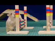 Cute and Adorable Hamster Tricks - Climbing Stairs, Peeling & Eating Sunflower seeds, Dribble Ball) - YouTube