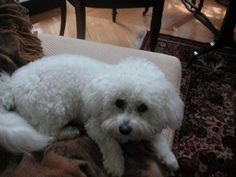 #MISSING ~~~ #ENCINO, #CALIFORNIA #Lost #Pet #dog Valerie, a white female #BichonFrise, went missing from the front porch of her home on 8/2/12. She has white curly hair like a #poodle and a pink nose, and is spayed. She is 9 years old and needs medication for her eyes. #Reward offered. Call or Text. 818-687-2838