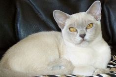 Lilac Burmese Cat.    - from Shepbrae website.