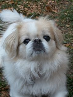 """Click visit site and Check out Best """"Pekingeses"""" T-shirts. This website is superb. Tip: You can search """"your name"""" or """"your favorite shirts"""" at search bar on the top."""