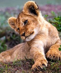cute baby lion photo cute animals photos pets pinterest