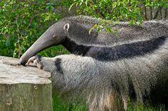 Der Große Ameisenbär ist im Los Katíos Nationalpark in Kolumbien noch in freier Wildbahn anzutreffen / Bild: (c) dennisjacobsen / Fotolia