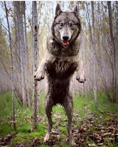"5,031 curtidas, 17 comentários - @worldofwolves no Instagram: ""By @ivar_the_real_wolfdog #shoutout #photography"""