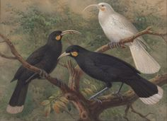 File:J. G. Keulemans - Three Huia (Heteralocha acutirostris) - Google Art Project.jpg