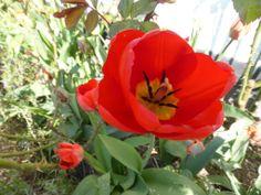 Endnu en fantastisk tulipan. Eget foto.