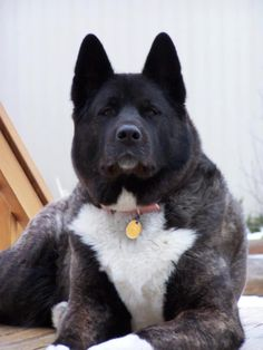 This is a striking Akita... Perfect...