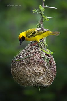 creatures-alive:  (via 500px / Masked Weaver at Work by Mario Moreno)