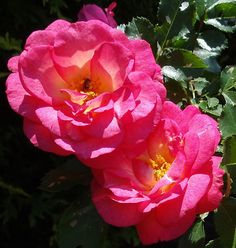 Sunrise Sunset, $20.95 - s a lovely rose that's always in bloom from June to frost. Its blossoms are just beautiful -- the color is a blend of pinks with apricot yellow in the center. We're always taking pictures of the blossoms 'cause they're just so pretty.  The flower form is semidouble with slightly wavy petals.