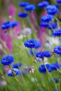 Cornflowers the color is so beautiful. :)