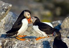 Edge Of The Plank: Cute Animals: Puffins