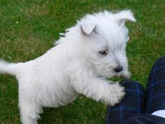 The temperament of the West Highland White Terrier can differ greatly, with some getting friendly towards kids while others choose solitude.