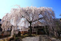 honmanji-sakura-201503.jpg (2000×1334)