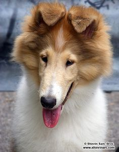 All about collies! Rough and Smooth Scottish Collies (aka: Lassie Dogs) information.