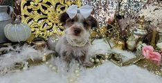Teacup Yorkies for Sale | Tea Cup | Breeder | Puppies |Micro | Tiny Micro Yorkies, Micro Teacup Yorkie, Teacup Yorkie For Sale, Cute Teacup Puppies, Yorkies For Sale, Yorkie Puppy For Sale, Dogs For Sale, Paper Train, Button Nose