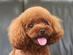 Cute Puppies, Cute Dogs, Animals And Pets, Cute Animals, Poodle Haircut, Dog Grooming Styles, Poodle Cuts, Teddy Bear Dog, Dog Haircuts