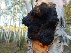 Collecting and harvesting birch fungus Chaga