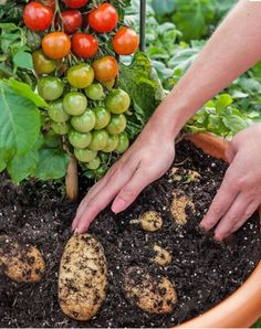 TomTato the new Hybrid plant between Tomato and Potato! - News - Bubblews  and not cost effect at all. seems a waste to me