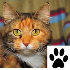 """This pet is eligible for """"Paws for Consideration."""" Take them home for a few days and see if they fit into your household. Moonpie is a beautiful calico with a golden face and a sweet calm personality. She has fairly long fur that is very soft to the touch. She loves to be scratched behind her ears and will roll over on her back for a tummy rub. This super sweet kitty will make a very nice companion and family cat. You can meet Moonpie at our offsite adoption facility in PetSmart in Flowery…"""