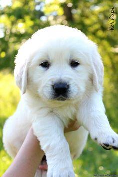 Akc English Cream Golden Retriver Puppy