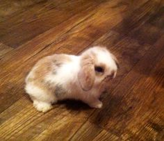 Flopsy went to his new home .. Such a sweet love bun ... Holland Lop Bunny