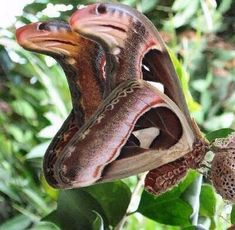Photo: The Atlas Moth (Attacus atlas) - the tip of the moths wing is camouflaged to resemble the head of a cobra snake. When disturbed, the Atlas moth falls to the ground and writhes about to complete the illusion. Via - Back to Nature Beautiful Bugs, Beautiful Butterflies, Amazing Nature, Beautiful Pictures, Bizarre Animals, Animals And Pets, Cute Animals, Cool Insects, Bugs And Insects