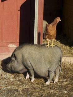 Pot Belly Pig & Hen