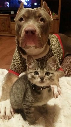 I found my kitten at 2 days old and my pit tried to breastfeed her for weeks. That's her baby. She whines when the kitten hides.  Pits are the best mommies