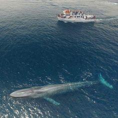 Ein Blauwal im Vergleich zu einem 23 m langen Boot Une baleine bleue comparée à un bateau de - Sealife Delphine, Ocean Creatures, Whale Watching, Large Animals, Nature Animals, Wildlife Nature, Ocean Life, Marine Life, Under The Sea