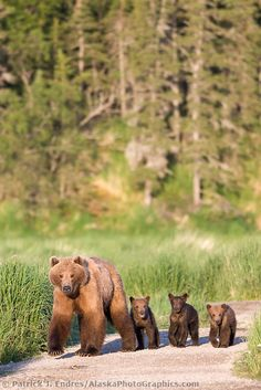 Female brown bear (sometimes called a sow) and triplet cubs of the year, Katmai National Park, southwest, Alaska. Animals And Pets, Baby Animals, Cute Animals, Wild Animals, Baby Pandas, Baby Bears, Strange Animals, Beautiful Creatures, Animals Beautiful