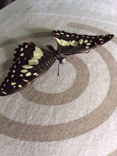 Papilio demoleus (Lepidoptera: Papilionidae)