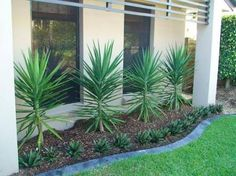 Landscaping for driveway. Tall yukka with low growing below