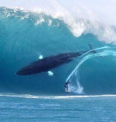 whale shark surf surfing