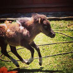 Príncipe  #miniaturehorse #ponny  #pinies #horselife #caballos #criaderoeltrebol #caballosminiaturas #caballo #miniscolombia