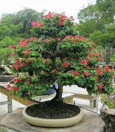 bonsai powder-puff tree