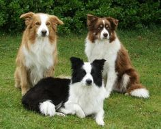 Perfect Trio.  Black Border Collie + Brown Border Collie + Golden Border Collie in one photo #dogs