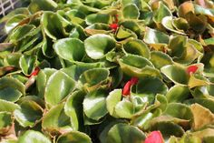 160 Begonia BIG RED GREEN LEAF Live Plants Plugs Garden Home Planters 353