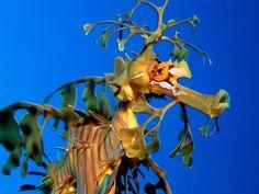 El dragón marino foliado.