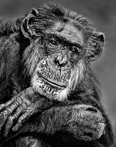 """Aging Chimp by Bob Jensen.back in was kinda simple"""" Monkey See Monkey Do, Ape Monkey, Nature Animals, Animals And Pets, Cute Animals, Wild Creatures, All Gods Creatures, Primates, Beautiful Creatures"""