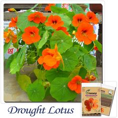 Drought lotus seeds garden planting potted flowers 10pcs