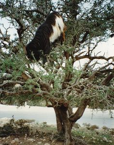 Goats balancing on the narrow branches of the Argan trees in Morocco. The mammals aren't tall enough reach the tree's berries.
