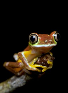 All sizes | Lemur Leaf Frog- Agalychnis lemur | Flickr - Photo Sharing!