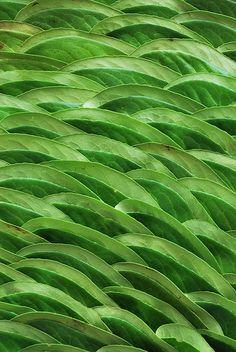 green.quenalbertini: Greens