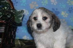 Havanese Puppies in East Earl Pa.  these cute puppies were born 10-7-13 priced at 600. Check http://www.network34.com for the contact information and all the pictures and videos.   http://srifl.com/