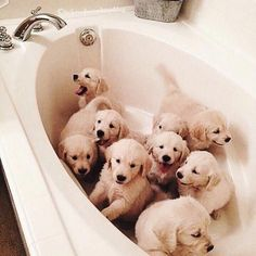 A bathtub full of golden retriever puppy dogs. Cute Baby Animals, Animals And Pets, Funny Animals, I Love Dogs, Cute Dogs, Retriever Puppy, Golden Retriever Puppies, Golden Retrievers, Cute Creatures