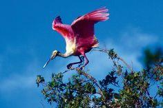pássaro colhereiro num manguezal. Foto de Araquem Alcantara.
